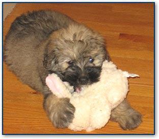 Chantals Bouvier Des Flandres Bouvier Dogs And Dog Breeds