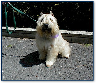 One of our favorite dog breeds is the Bouvier.